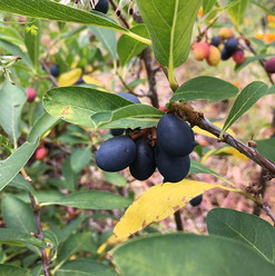 Fruits! #californianativeplants #berries