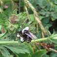 Bumble bee on Horkelia #mountsutroopensp