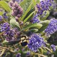 #ceanothus #bumblebee #spring #californi