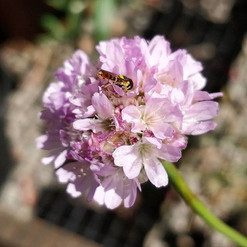 Taking a dive into sea thrift
