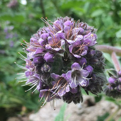We love Phacelia and the bees agree🐝😍