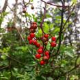 #mountsutro #redelderberry
