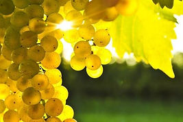 grapes-leaves-nature-yellow-1692774-480x