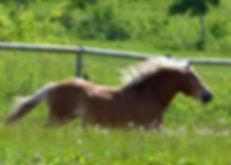 galloping_islaender_horse.jpg