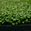 Thumbnail: Red Clover