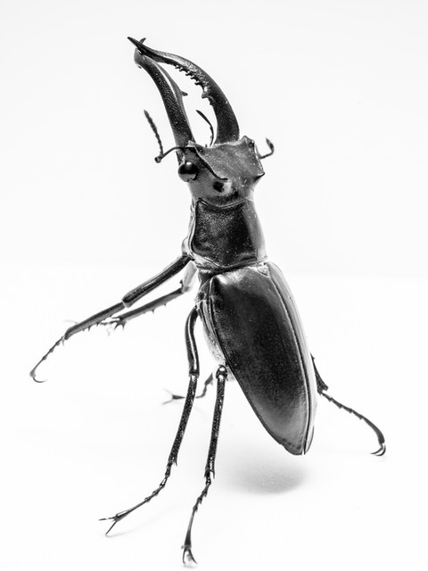 MALE STAGG BEETLE - SANTA CLAUSE