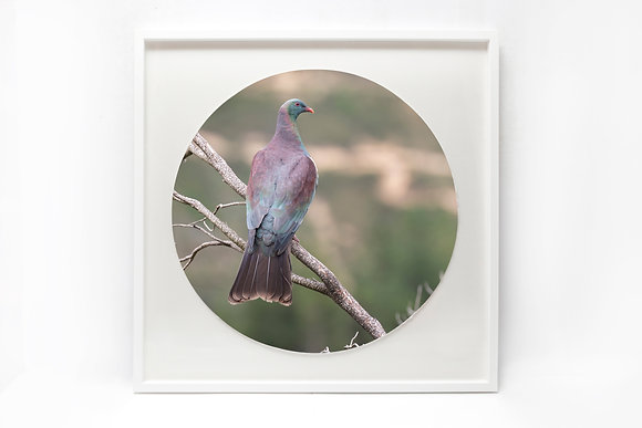 Framed Print - 'Kereru on watch'