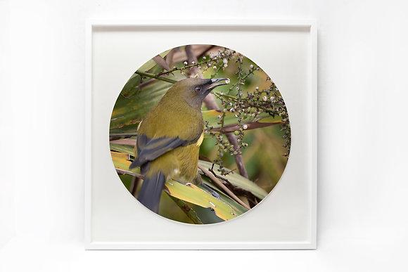 Framed Print - 'Bellbird Eating'