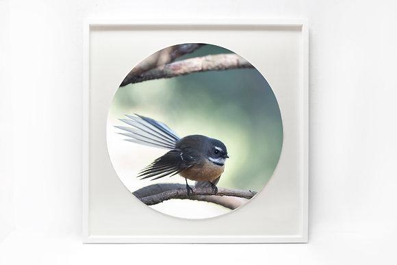 Framed Print - 'Demure Fantail'