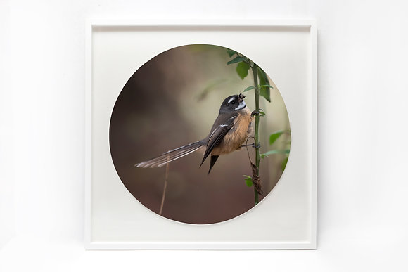 Framed Print - 'Fantail Eating'