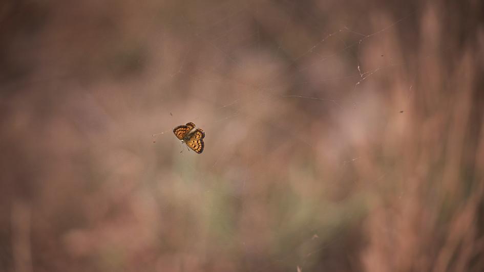 Butterfly in Web