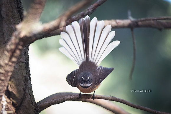 Fantail Staring Competition