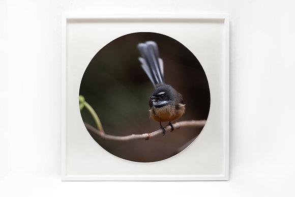 Framed Print - 'Talking Fantail'
