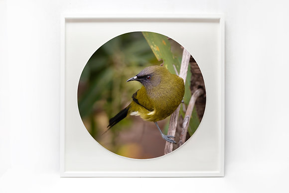Framed Print - 'Bellbird'