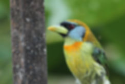 Red headed Barbet.jpg
