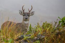 Deer Chingaza