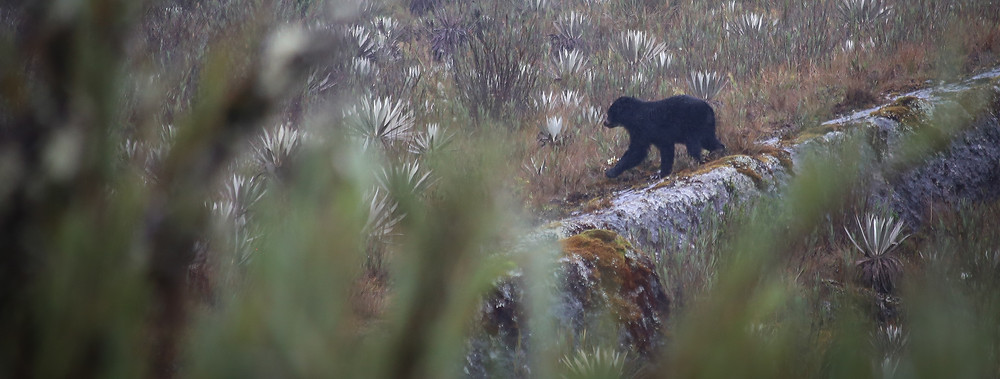 Spectacled bear Chingaza National Park