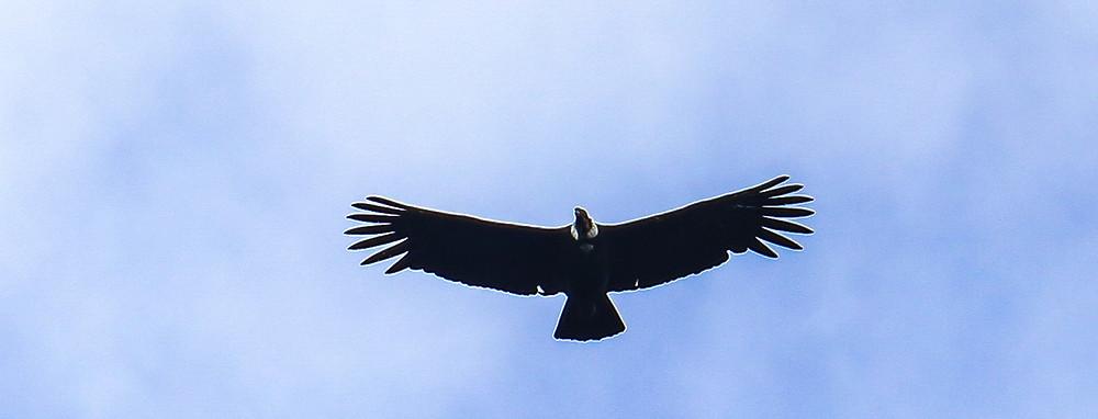 Andean condor Chingaza