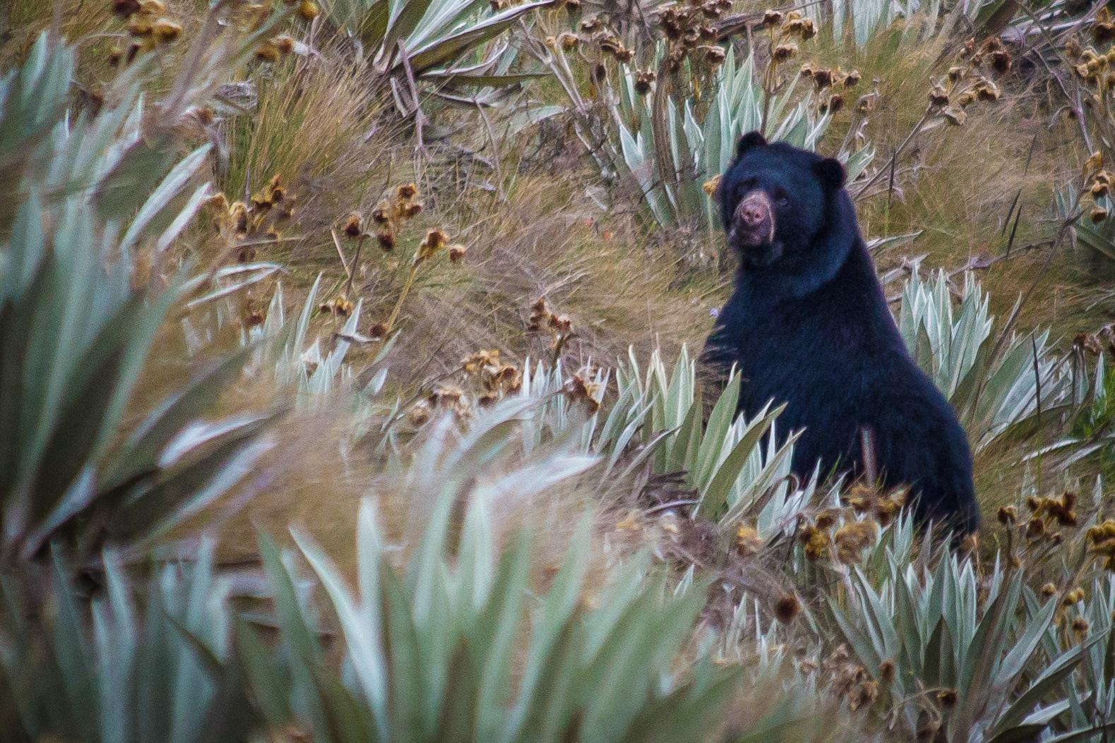 Bear Chingaza