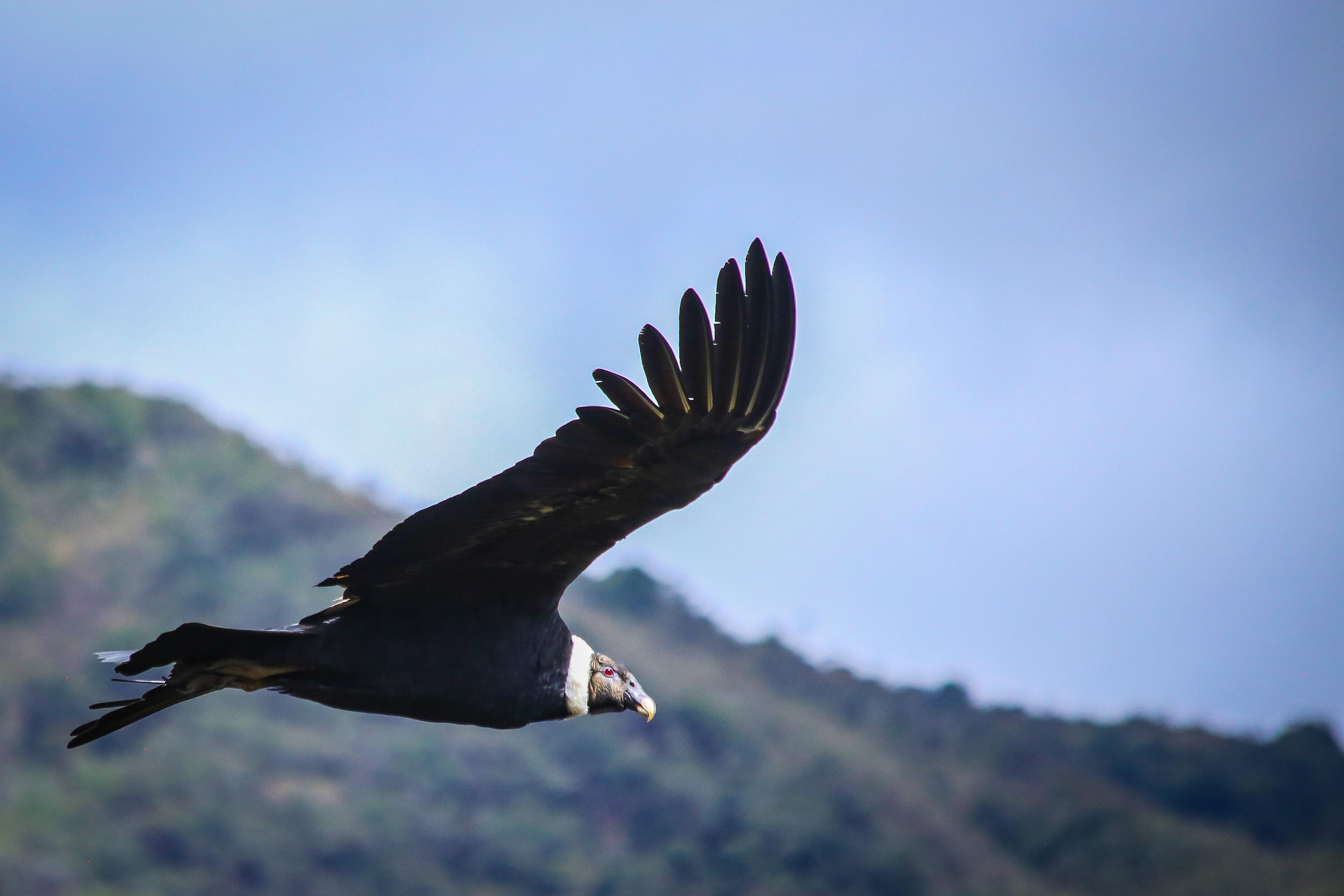 Condor Chingaza