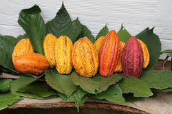 Cocoafarmcolombia