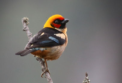 Flame_Faced_Tanager_Chicaque_edited.jpg