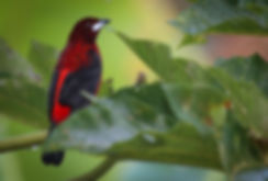 Crimson_Backed_Tanager.jpg