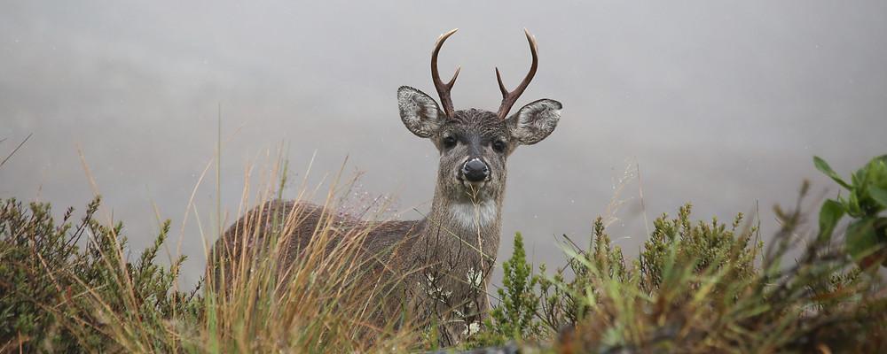 White-tailed deer Chingaza