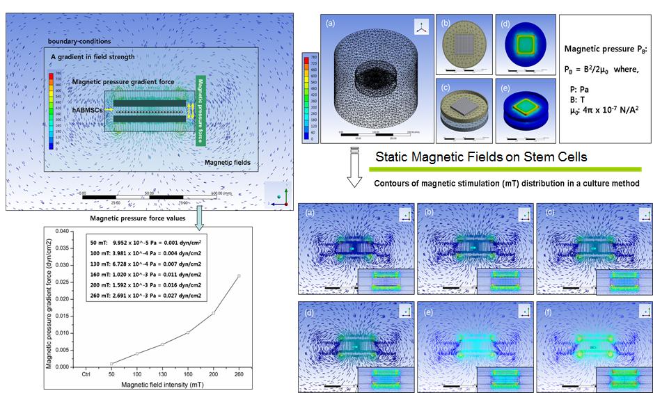 Magnetic Stimulation of MSCs