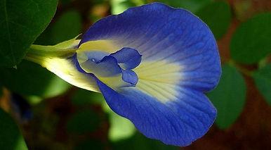 l_13233_Butterfly-pea-flower-1.jpg
