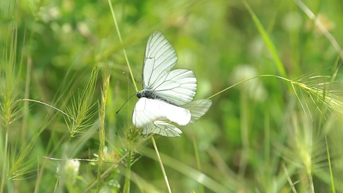 macro-shot-of-a-white-butterfly-flying-a