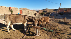 Donkey feeding time, Agafay