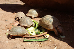 Kasbah Africa - Tortoises