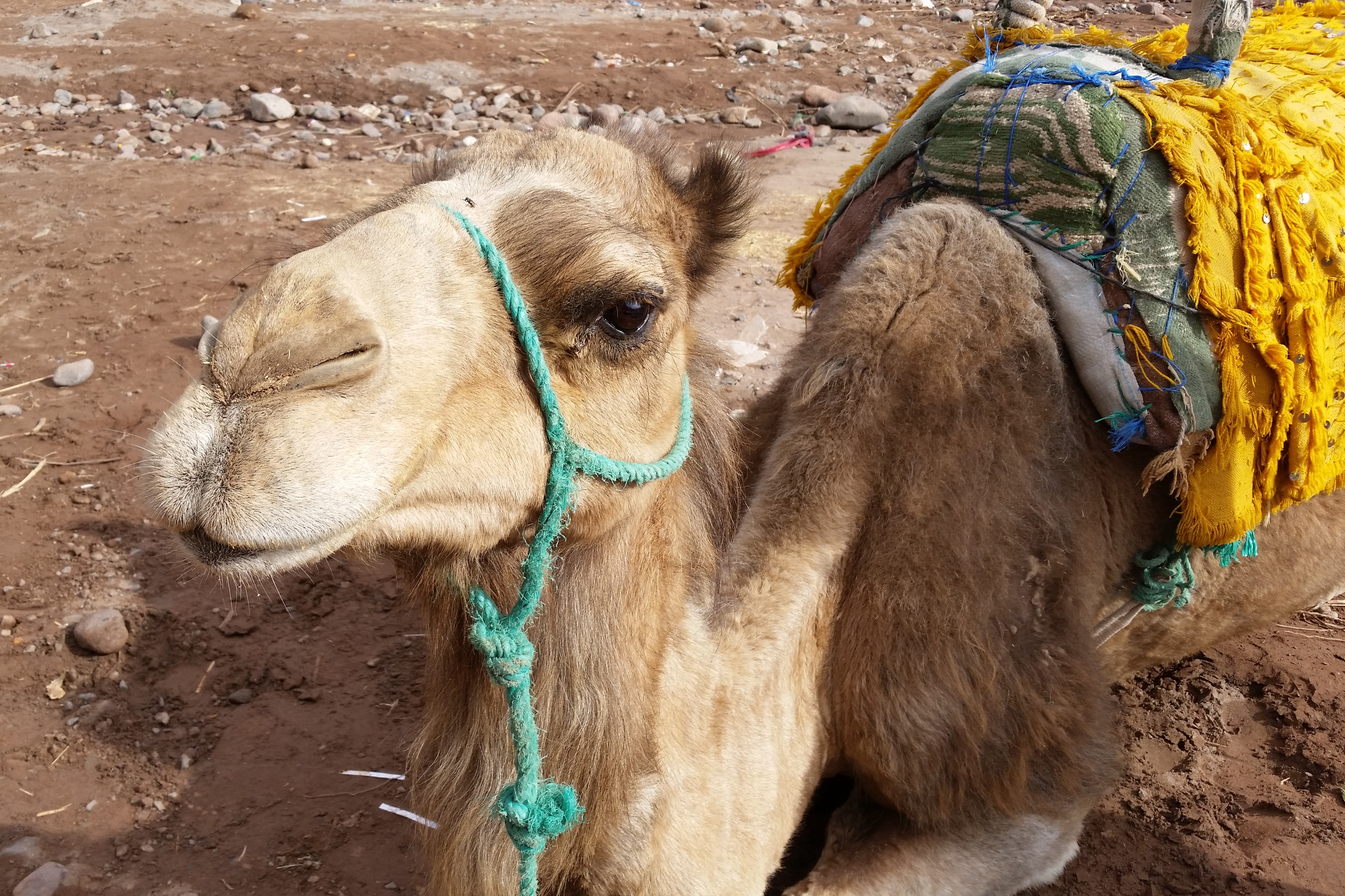Atlas Camel Trail (6)