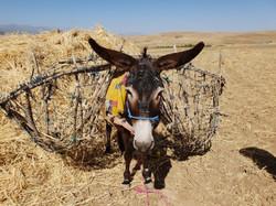 Donkey carrying wheat on Kik Plateau