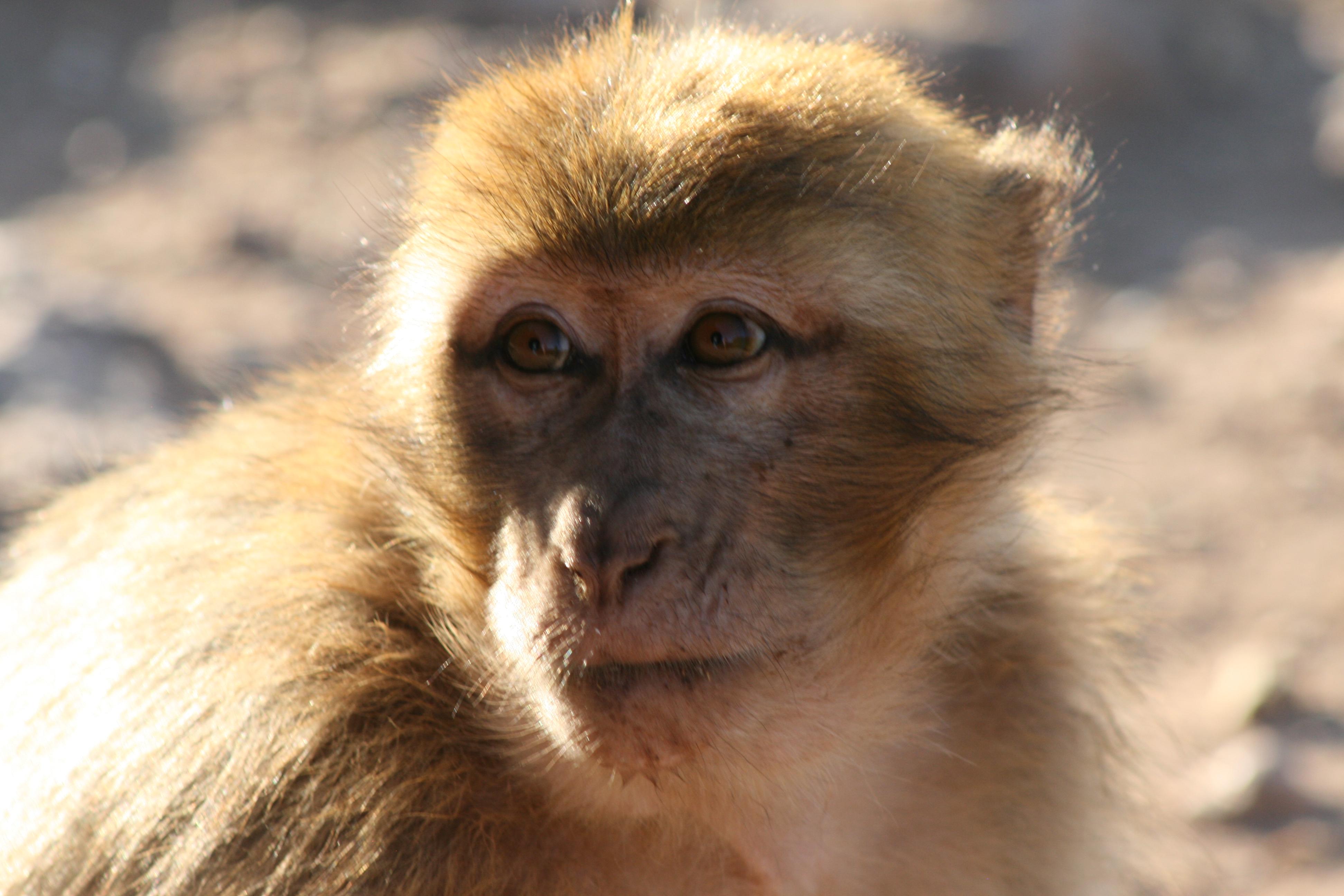 Barbary ape at Ouzoud falls