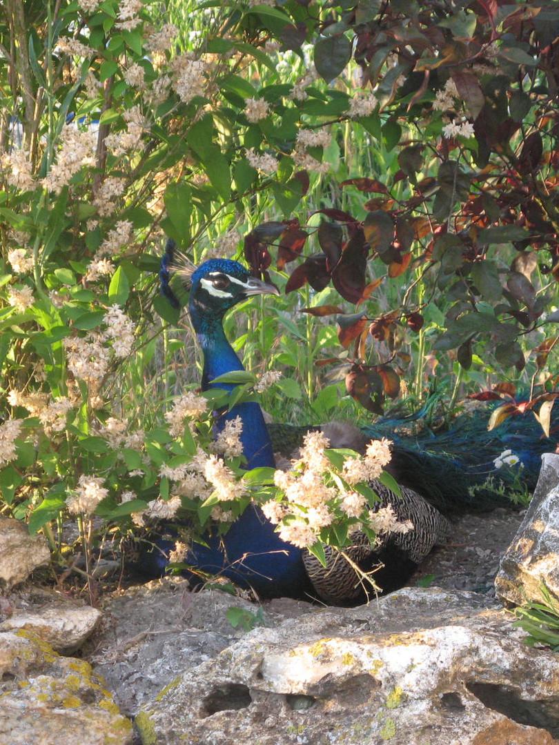 l'Atelier des Artistes - Paon/Peacock