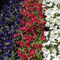 Gustafsons deliver our petunias 2016