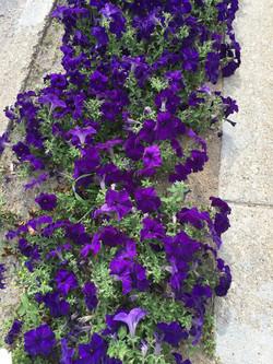 Purple Petunias in 2016