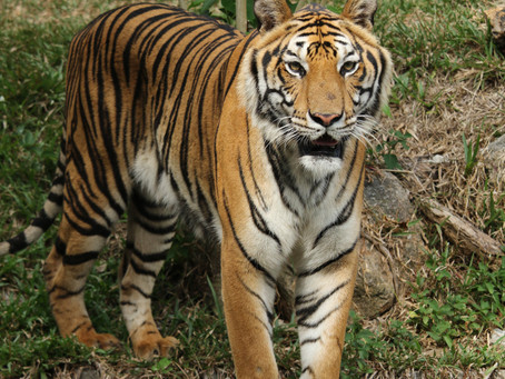 How can YOU save a tiger this month?