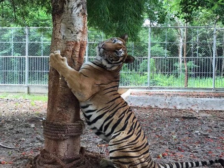 THREE YEARS ON: HOW ARE THE TIGER TEMPLE TIGERS?