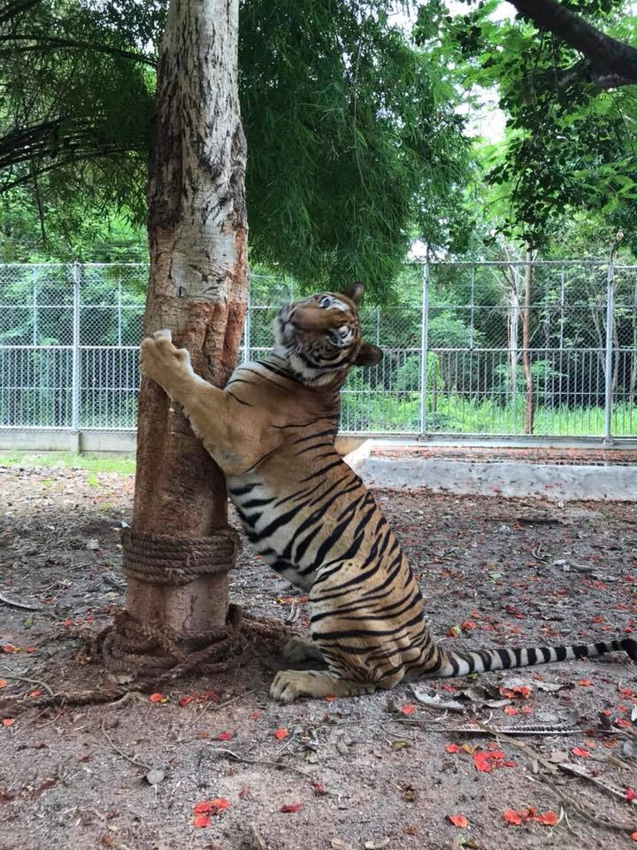 tiger temple tiger