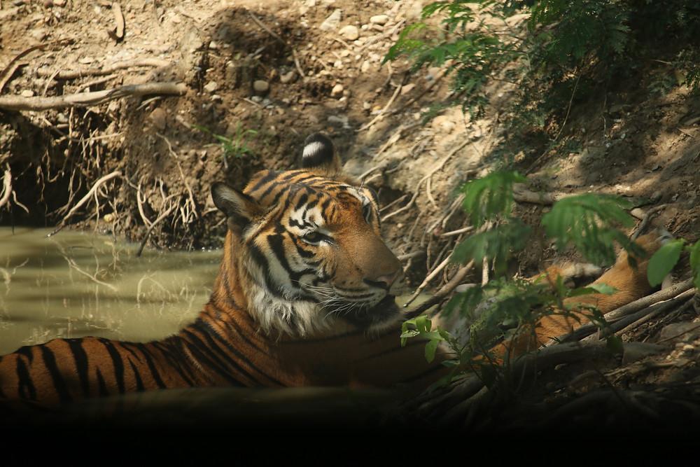 Tiger in pond, Thailand