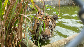 TEMPLE TIGERS UPDATE: TIGERS OUT AND ABOUT!