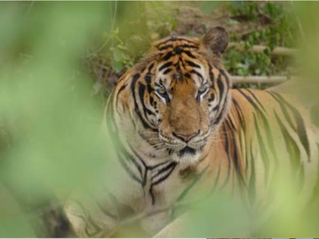 MORE THAN HALF THE TIGER TEMPLE TIGERS REPORTED DEAD