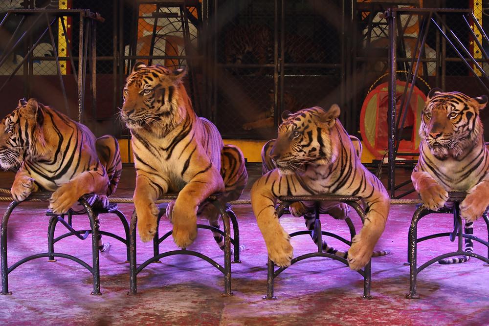 Circus tigers, Sriracha Tiger Zoo, Thailand