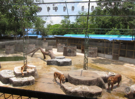 HOW COVID-19 IMPACTED CAPTIVE TIGER WELFARE IN THAILAND