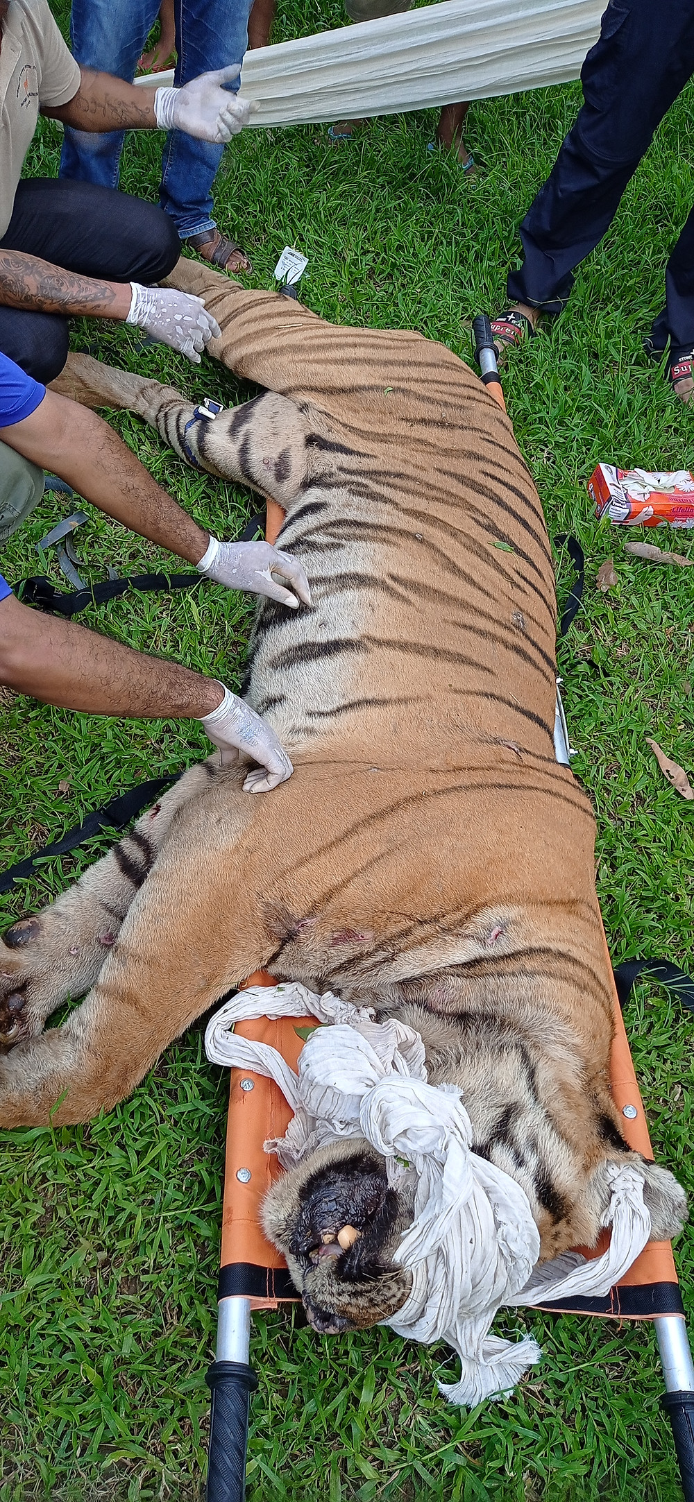 Captured tiger Nepal