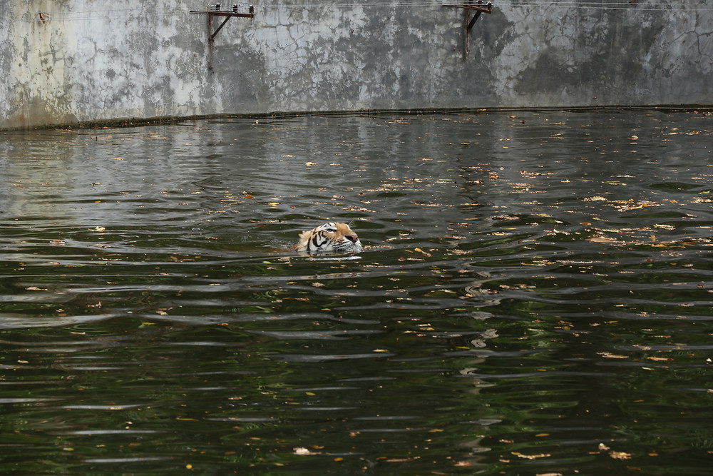 Swimming tiger, Thailand