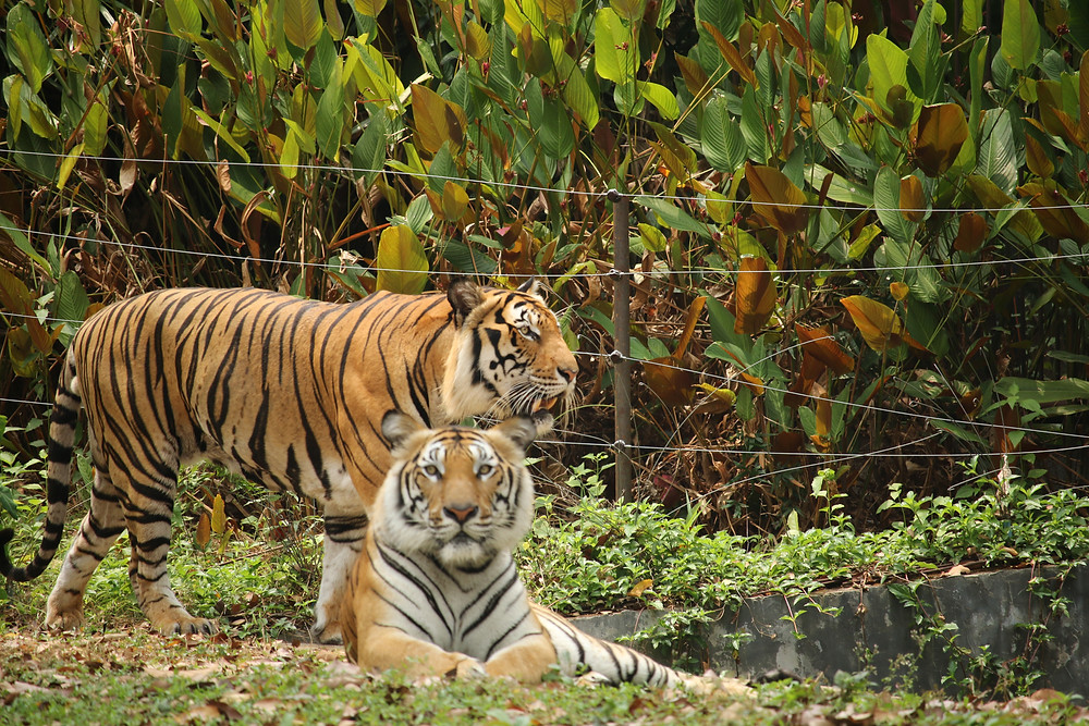 Tigers relaxing